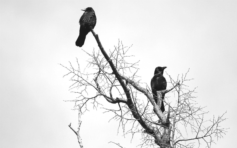 Crows tree bw 1500