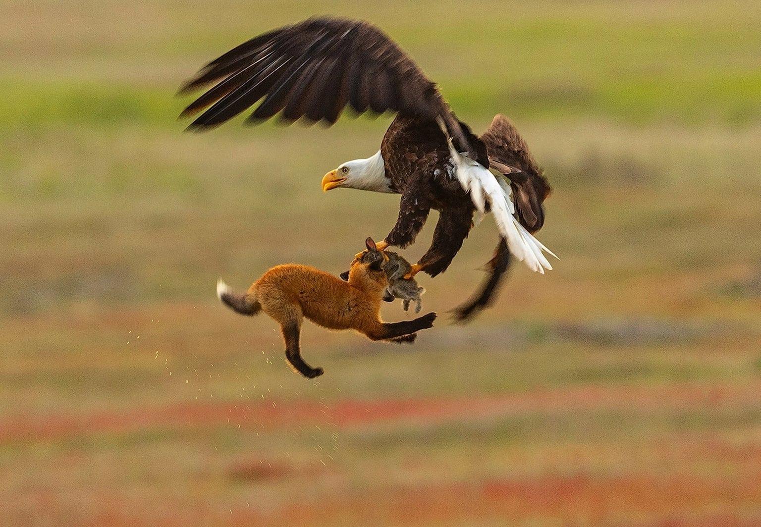 Eagle FoxRabbit 1 1500