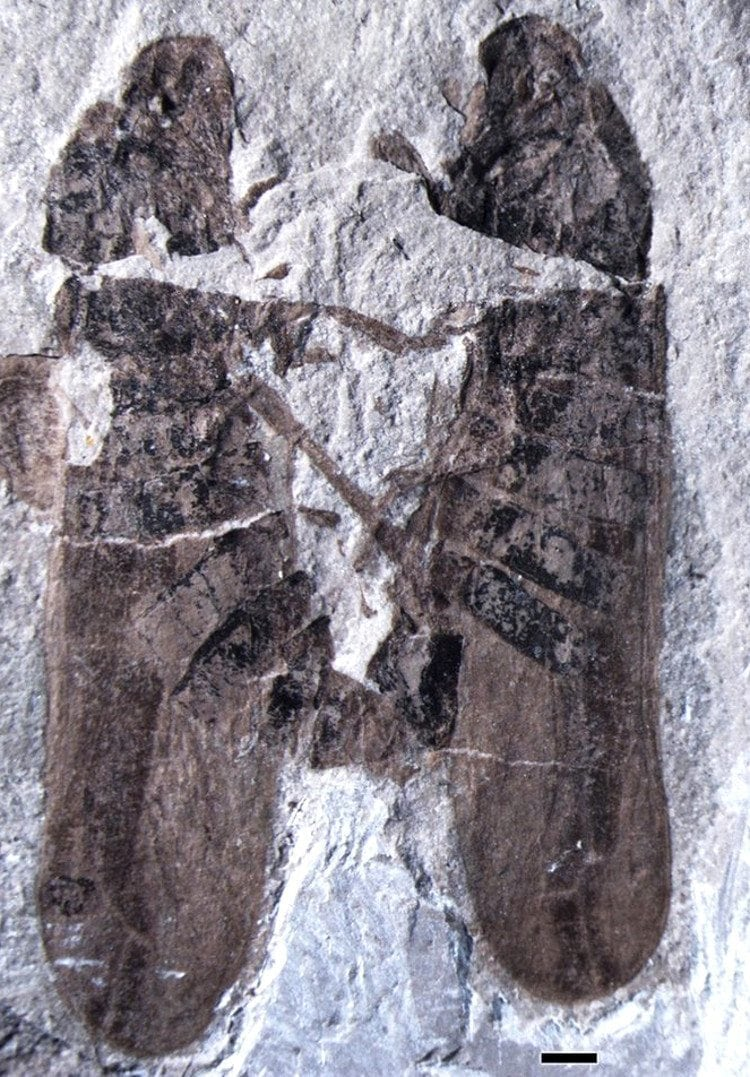 Photo of two ancient bugs (Anthoscytina perpetua) caught in the act of sex in fossilized lava from 165 million years ago.
