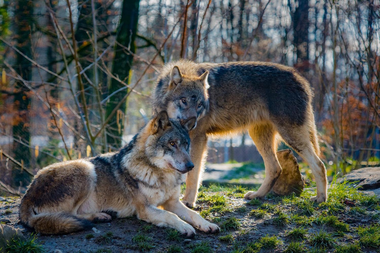Wolves pair 1500